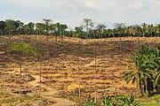 Segaliud Sabah Replanting-of-Oilpalms-01.jpg