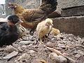 Segunda nidada de pollos 12.JPG