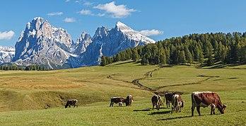 Vaches sur l'Alpe de Siusi, devant le groupe du Sassolungo, dans le Trentin-Haut-Adige. (définition réelle 4736×2416)