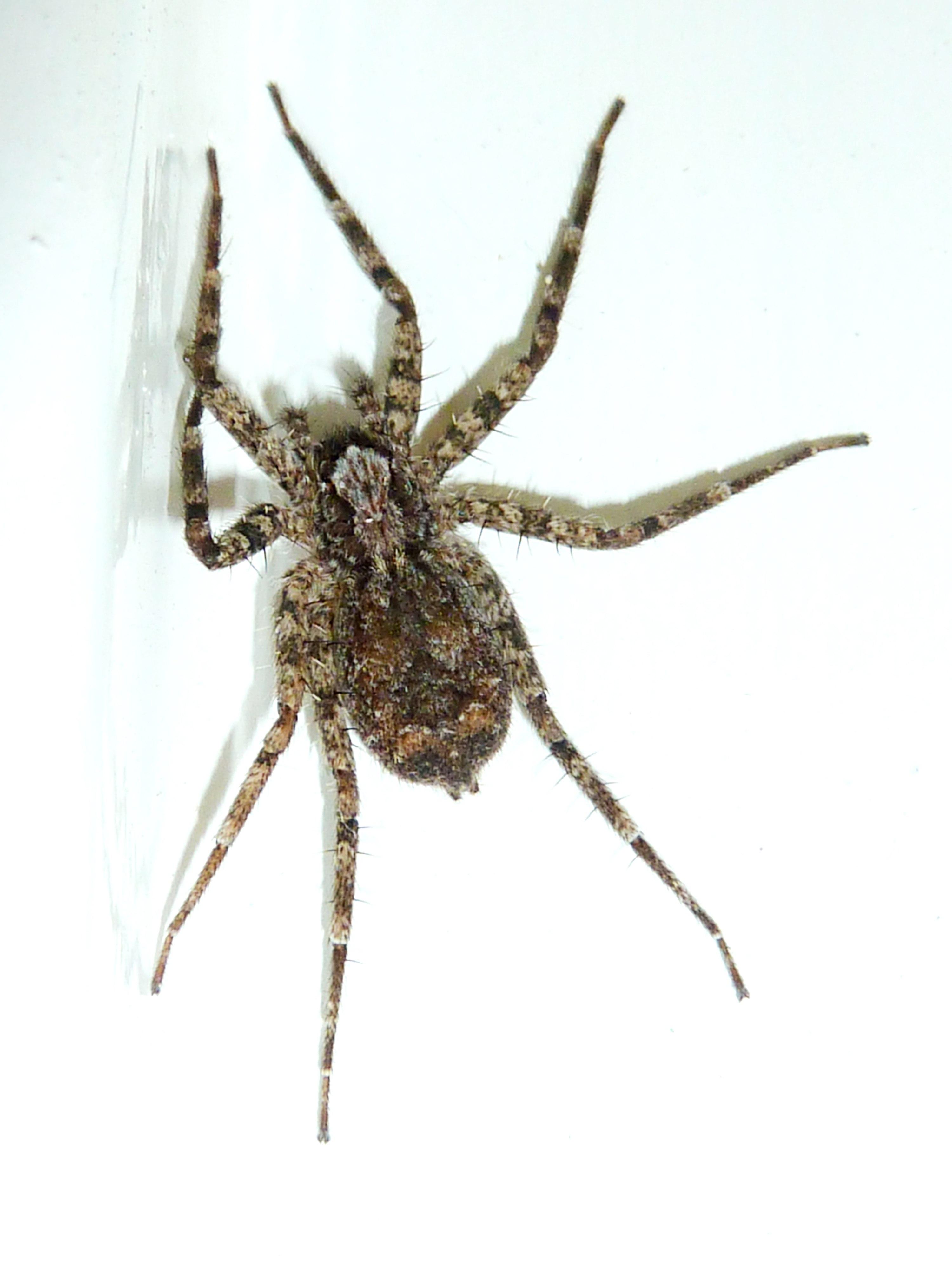 File:Selenopidae sp, b, Seringveld jpg - Wikimedia Commons