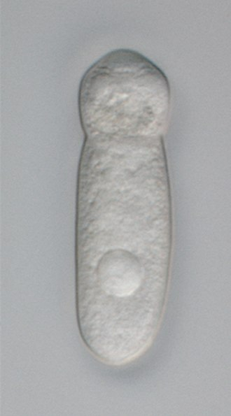 Apicomplexa - Trophozoite of a gregarine