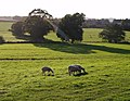 Sheep at Kenn - geograph.org.uk - 581544.jpg