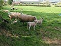 Sheep at Stubborn Farm - geograph.org.uk - 2406418.jpg