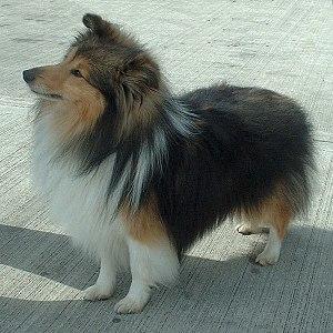 Shetland Sheepdog - Sable/White Shetland Sheepdog