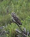 Short-eared Owl (7726640572).jpg