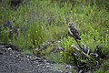 Short-eared owl on the road to Quartz Creek, north of Nome, AK. (8029729594).jpg