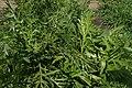 Silphium laciniatum kz01.jpg