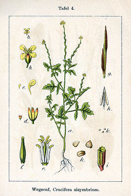 Weg-Rauke (Sisymbrium officinale), Illustration von Jacob Sturm
