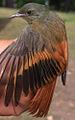 Sittasomus griseicapillus (15014984713).jpg
