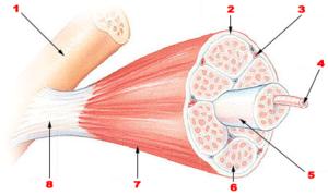 Skeletal muscle Bone Perimysium Blood vessel M...