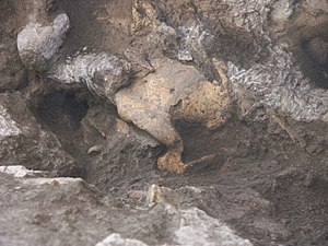 Dmanisi skull 5 - Image: Skull in dmanisi archaeological site