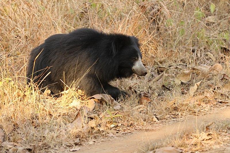 File:Sloth bear (4).jpg