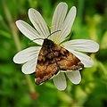 Small Yellow Underwing Panemeria tenebrata (46872537705).jpg
