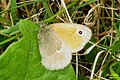 Small heath (NH) (15857382912).jpg
