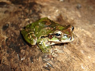 Common Mexican tree frog Species of amphibian