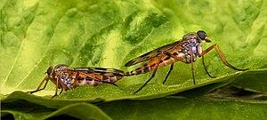 Snipe-fly Rhagio scolopaceus copulation.jpg