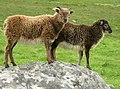 Soay lambs on Hirta.jpg