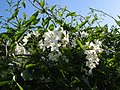 Solanum jasminoides in Topsham - geograph.org.uk - 264793.jpg