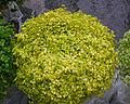 Soleirolia soleirolii C.jpg