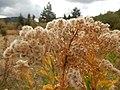 Solidago canadensis - Canada goldenrod - Flickr - Matt Lavin (3).jpg