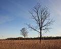 Solitaire bomen in zompig rietland. Nationaal Park Weerribben-Wieden 03.jpg