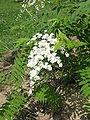Sorbus aucuparia2.jpg
