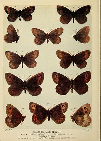 Small mountain ringlet - Plate 77