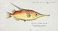 Southern Pacific fishes illustrations by F.E. Clarke 16.jpg