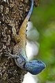 Southern Tree Agama (Acanthocercus atricollis) male (33506684056).jpg
