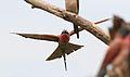 Southern carmine bee-eater, Merops nubicoides, Savuti marsh, Chobe National Park, Botswana (32462176115).jpg