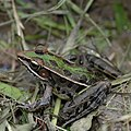 Southern leopard frog (Lithobates sphenocephalus), Liberty Co. TX (April 2009).jpg