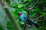 Spangled Cotinga (Woodland Park Zoo, 2007-07-21).jpg