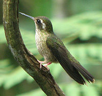 SpeckledHummingbird
