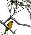 Spectacled Weaver (Ploceus ocularis) (32246250205).jpg
