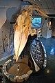Sperm whale skeleton Nantucket.jpg