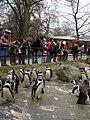 Spheniscus humboldti -Zoo Antwerpen, Belgium -upper body-8 (3).jpg