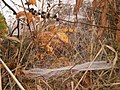 Spider webs with dew in German Altweibersommer, Marburg-Ockershausen 2016-10-27.jpg