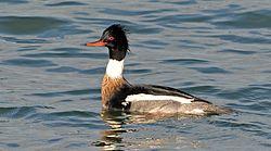 Spinus-red-breasted-merganser-2015-01-n025091-w.jpg