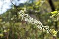 Spiraea prunifolia var. simpliciflora 2015년 4월21일 (17322861676).jpg