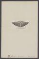 Spirifer speciosus - - Print - Iconographia Zoologica - Special Collections University of Amsterdam - UBAINV0274 005 13 0012.tif
