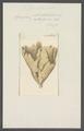 Spongia infundibuliformis - - Print - Iconographia Zoologica - Special Collections University of Amsterdam - UBAINV0274 112 05 0020.tif
