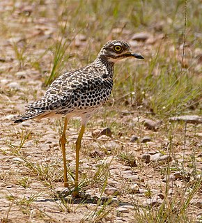 Spotted thick-knee species of bird