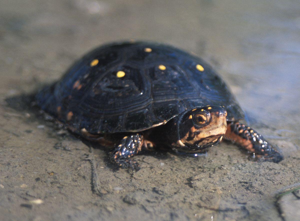 Clemmys guttata - Wikipedia, la enciclopedia libre