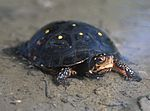 Spotted Turtle - Clemmys guttata.jpg