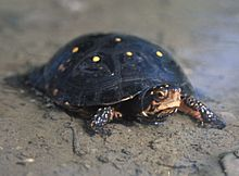 A spotted turtle standing on a sandy shore facing to the right.