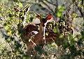 Spotted deer (2653987683).jpg