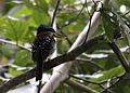 Spotted kingfisher (Actenoides lindsayi) (7184497862).jpg