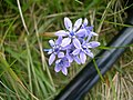 Spring Squill - geograph.org.uk - 810157.jpg