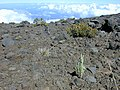 Starr-021024-0021-Pseudognaphalium sandwicensium var sandwicensium-habit-Kalahaku HNP-Maui (24470717841).jpg