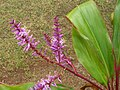 Starr-060916-8962-Cordyline fruticosa-flowers-Makawao-Maui (24771979851).jpg